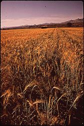 historical image of wheat fields