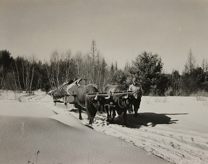 Oxon hauling sled with logs in Maine
