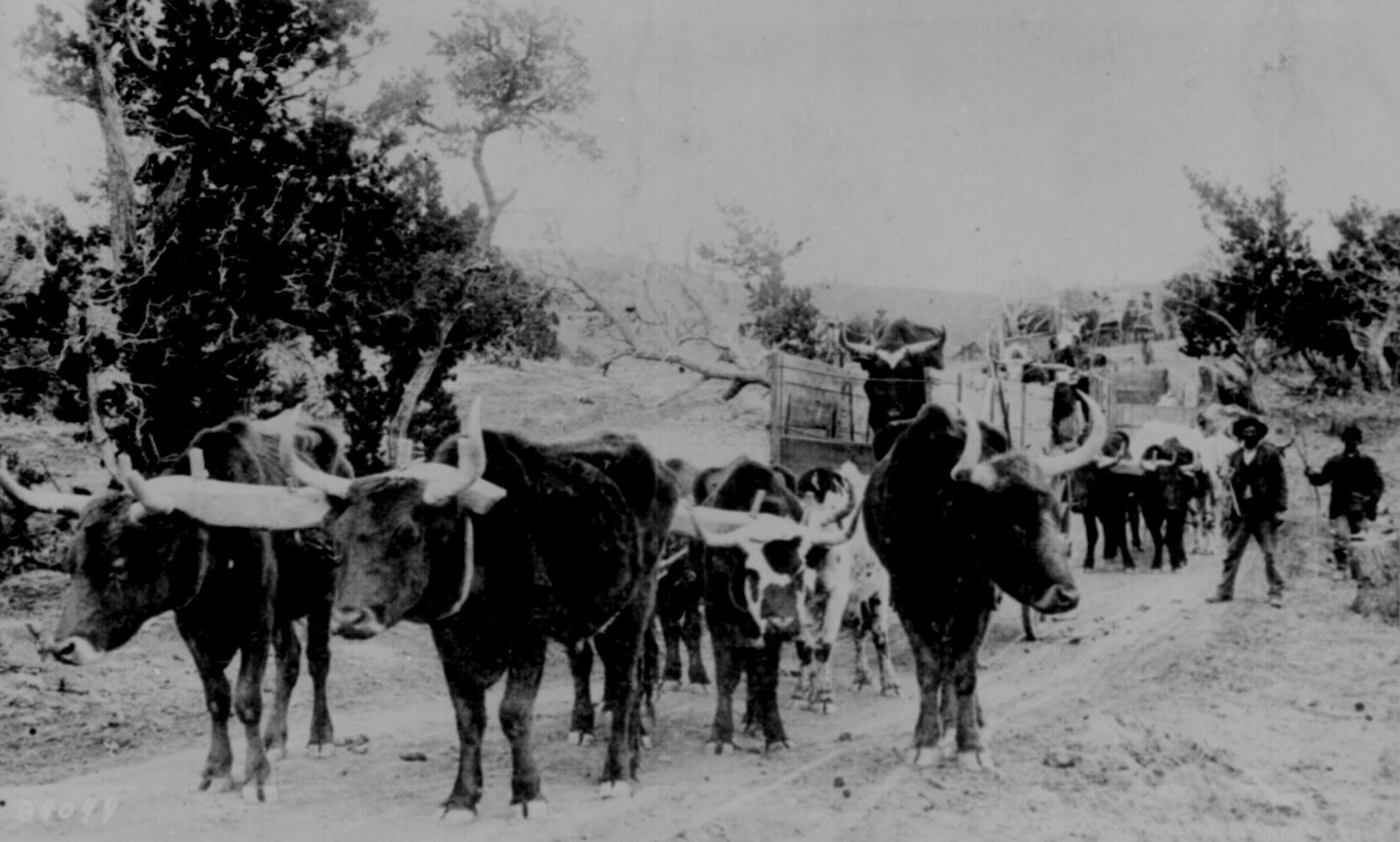 Ox Train Used To Transport Supplies In Arizona Territory